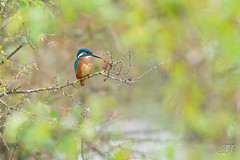 Martin-pêcheur d'Europe (Tifaeris) Tags: alcedoatthis alcédinidés commonkingfisher coraciiformes martinpêcheurdeurope bird oiseau