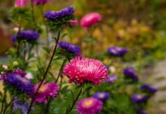 Autumn atmosphere (Joni Mansikka) Tags: autumn nature garden flowers colours hues petals atmosphere september mood outdoor flowerbed tuorla suomi finland tamronspaf2875mmf28xrdildasphericalif