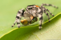 Jumping Spider & Prey (Tom's Macro and Nature Photographs) Tags: macrophotography arachnids arthropods insects spiders jumpingspiders salticids salticidae phidippus flies predators prey
