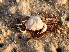 ...:::Capacidad de cambio. La fuerza del cangrejo.:::... (Koral Skatha) Tags: cangrejo foto cruda playa color boqu algas caparazn animal capacidad cambio