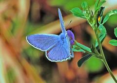 Reverdin's blue - Plebejus argyrognomon (male) (ermenegildore) Tags: lycaenidae farfalle farfalla butterflies butterfly nature natura macro