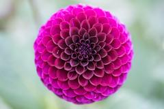 layers (jeff's pixels) Tags: dahlia plant flower macro closeup nikon d750 105mm nature beauty dahlie symmetry bokeh