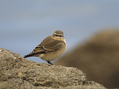 Wheatear Oenanthe oenanthe (Penwith nature) Tags: wheatear migrant penwith nature cornwall autumn