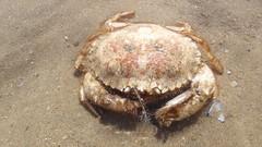 cranc crwn, Circular crab, Atelecyclus rotundatus (Gwylan) Tags: circularcrab atelecyclusrotundatus roundcrab bidenticulatecrab cranc crab cranccrwn crancod atelecyclus traeth beach sand gravel decapod decapoda arthropod atelecyclidae