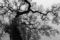 (maria.7_94) Tags: roma galleria borghese tree black white