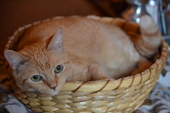 Princessa in a Basket (bmasdeu) Tags: catfriendly cats basket curledup yellow tabby favorite