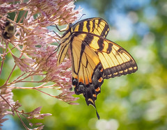Swallowtail Summer (Shannonsong) Tags: swallowtail tigerswallowtail butterfly lepidoptera nature joepyeweed wildlife wildflower plant wv pterourusglaucus summer