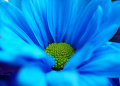 Blue Daisy~Explored! (j man ) Tags: life lighting blue friends light flower color macro art texture nature floral colors beautiful closeup composition lens photography petals cool flickr dof blossom pov background sony details favorites center 11 depthoffield pointofview sp hues ii views di if daisy f2 tamron centered comments ld jman af60mm mygearandme flickrbronzetrophygroup a65v