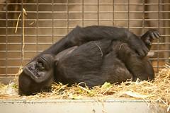 2013-03-29-14h20m01.272P3658 (A.J. Haverkamp) Tags: germany zoo gorilla muenster mnster munster shasha dierentuin westelijkelaaglandgorilla canonef70200mmf28lisusmlens httpwwwallwetterzoode dob06102001 pobhowlettsengland