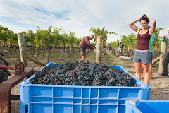 Vintage at Te Mata in Hawkes Bay (Murray Lloyd Photography) Tags: autumn red newzealand sun sunshine photography vineyard estate wine photos winery wellington handpicked hawkesbay cabernetfranc temata bullnose 2013 handpicking murraylloydphotography