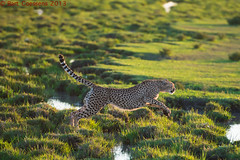 Jumping Cheetah - Ngorongoro CA - Tanzania (bart coessens) Tags: cats cat tanzania feline ngorongoro bigcat cheetah predator bigcats felis predators ndutu ngorongoroconservationarea ndutuarea