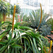 Aloe alooides, Graskop aloe