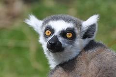 Ring-Tailed Lemur - Lemur catta (Madagascar) (RichardJames1990) Tags: park eye nature animal yellow fauna photography james eyes wildlife leeds ring richard lemur oxford captive madagascar oxfordshire tailed captivity sauron ringtailed catta
