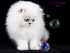 Les Persans de Fannie (Les Persans De Fannie) Tags: cats cat persian chats kitten chat animaux fannie chaton chatons persan