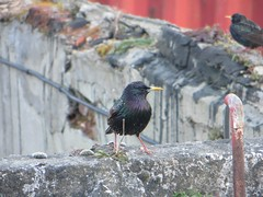 Starling Outside my Window (pianonotes88) Tags: birds canon wildlife starling canonsx260