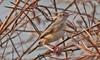 Th13_05242a (jerryoldenettel) Tags: bird thailand passeriformes cisticolajuncidis zittingcisticola cisticola passerine 2013 cisticolidae bangtaboon bangtaboonmarshes
