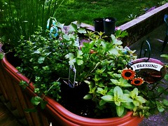 Happy little collection of herb starters (LiZb*) Tags: green cooking garden spring herb starters toucanfilter
