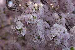 Cherry Blossoms Wed 10 Apr 2013  (159)  Washington DC (smata2) Tags: this you good national cover photograph be pick geographic titlephotosharingimg a i are height48 hrefhttpwwwflickrcomgroups83374492n00 srchttpstaticflickrcom1042978201971b62ce7b44ojpg width129 altnominateda hrefhttpwwwflickrcomgroups83374492n00national enougha