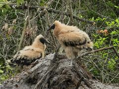 Juvenile black vultures (tropic exposure) Tags: baby black bird fire aftermath nikon babies florida fl vulture buzzard juvenile wildfire p500 autofocus coragyps atratus