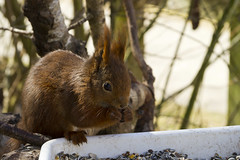Squirrel (A frequent guest at the bird table) (Appaz Photography ) Tags: animals denmark squirrel mammals jylland egern silkeborg aquasilkeborg