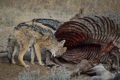 Scavengers and Anthrax (College of Natural Sciences) Tags: jackal zebra vulture biology anthrax scavengers universityoftexasataustin scavenging infectiousdisease etoshanationalpark collegeofnaturalsciences stevebellan
