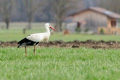 D300_007_1862 (ejsjb5) Tags: ammersee storch raisting whitestork ciconiaciconia weisstorch