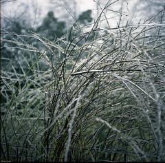 Iced Shrubbery (BunnySafari) Tags: canada frozen guelph icestorm april shrubbery on yashicamat fpp 2013 expiredkodak donatedfilm