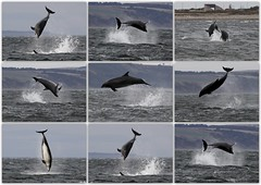 Moray Firth Bottlenose Dolphins - 20/4/13 (Ally.Kemp) Tags: wild point scotland marine free scottish dolphins mammals moray rosemarkie blackisle firth chanonry bottlenose fortrose rossshire 2013