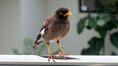 Indian Mynah (chris new kiwi) Tags: newzealand bird nature mynah omokoroa indianmynah