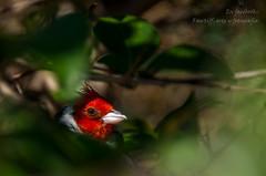 Cardenal (Rawtiff {{www.facebook.com/RawtiffArteYFotografia}) Tags: birds 50mm nikon raw sigma aves pajaros nikkor tiff cardenal 14g rawtiff