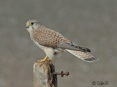 Kestrel (Female) Falco tinnunculus (Col-page) Tags: