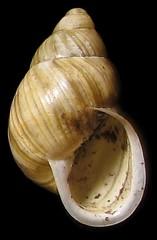 Rare Tree snail on Guam