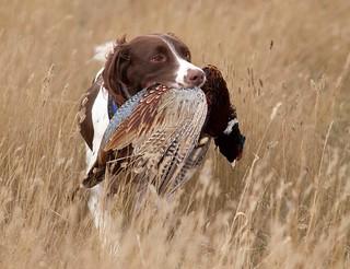 South Dakota Pheasant Hunt - Pierre 2