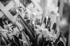 More Daffodils (McMac70) Tags: blackandwhite plant flower film nature spring natur pflanze blume blte frhling agfaapx100 canoneos620 schwarzweis film135 canoscan9000f canonef357013545