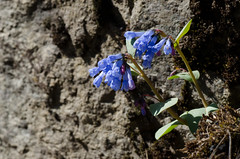 Bluebells on a Cliff (LabradorEars) Tags: blue bluebells idaho wildflower lochsariver mertensia clearwatercounty