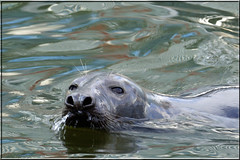Sammy the Seal (PaulHP) Tags: india west london dock quay seal docklands sammy