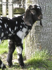 Starry Knight 5 (Sapphire Dream Photography) Tags: baby color kids kid goat doe goats spotted buck babygoat speckled nubian nubiangoats nubiankid