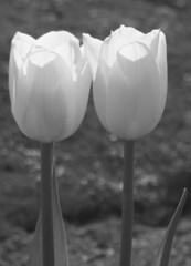 Tulips (Black & White) -- @ (mockba1_1999) Tags: flowers two newyork nature blackwhite spring tulips pairs harborisland mamaroneck mygearandme mygearandmepremium blinkagain photographyforrecreation rememberthatmomentlevel1 vigilantphotographersunite