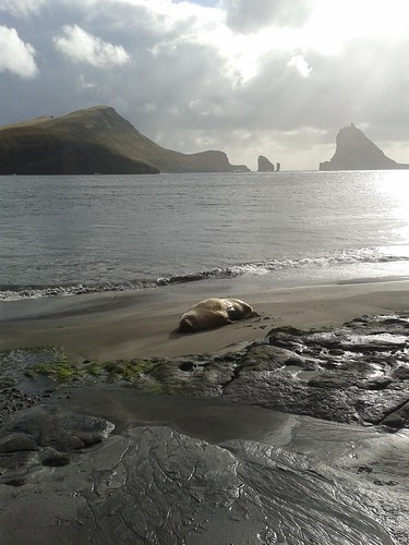 Walrus in the Faroe Islands