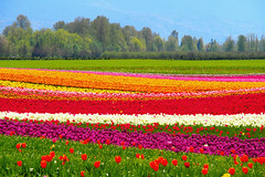 Agassiz Tulip Festival () Tags: flowers canada green nature colorful bc tulips layer lanscape tulipfield blooming m43 rainbowcolors beautifulbritishcolumbia em5 mirrorless seabirdisland agassiztulipfestival microfourthirds popartfilter olympusmzuikodigitaled14150mmf4056 olympusomdem5