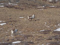 Reindeer (:NFR:) Tags: reindeer greenland grønland rener rensdyr vestgrønland westerngreenland vildrener qeqqeta