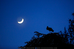 Looking at the moon (Baglioni Stefano) Tags: moon night luna notte silhuette ciconiaciconia cicogna trebbodireno