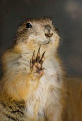 touch..! (tubasa-wings) Tags: animal highfive prairiedog