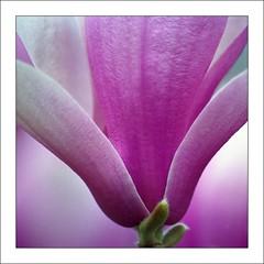 Magnolia Detail (mark willocks) Tags: flower film washingtondc scanned magnolia nationalarboretum
