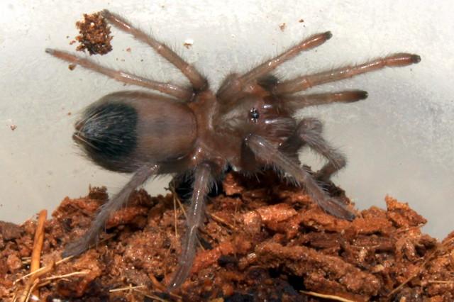 Tarantula: young Desert Blond - Aphonopelma Chalcodes