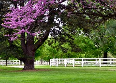Bloomin' Farm (Theresa*) Tags: trees white green fence season illinois spring purple oneofakind blooms naturesbest wheaton treepics flickrnature beautifulcapture loverofnature natureandlandscapes prettynaturephotos prettyfreakinsweet theillinoisdirectory danadafarm nikond7000