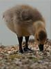 Gosling (Missy2004) Tags: gosling newforest canadagoose 36113 cadmanspond nikkor70300mmf4556afsifedvr 113picturesfor2013