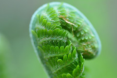 DSC_0178 - Fiddlehead (SWJuk) Tags: uk fern macro green home closeup spring nikon lancashire fiddlehead burnley d90 2013 nikond90 myfreecopyright swjuk may2013