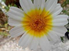 Daisy Daisy (sharoncrieffy) Tags: wild flower yellow sunny daisy majorca