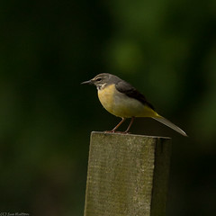 Grey Wagtail (sue_hutton) Tags: bird nature water spring wildlife loughborough greywagtail wildbird waterbody may2013 nanpantanreservoir t189522013week21